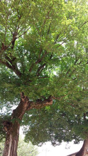 八尾のクスの木