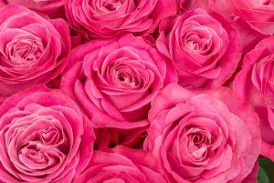 pinkrose